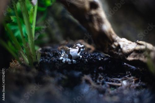 Photo Blue and black poison dart frog Dendrobates auratus dof sharp focus space for te