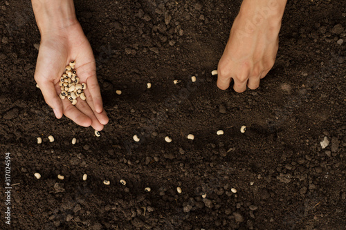Hand sowing seeds to losing soil at home backyard vegetable garden. top view