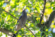 Black-winged Cuckoo-shrike - M...