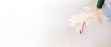 Blooming Zygocactus Flower On ...