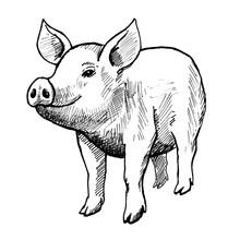 Pig, Vintage Black Ink Hand Dr...