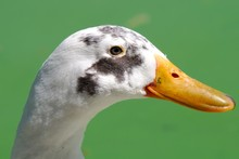 Closeup Of A Side Profile Of A Goose With A Long Beak Under Sunlight Against A Blurry Background