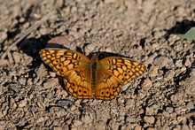Euptoieta Claudia Or Variegated Fritillary Sunning Itself O N A Bed Of Pebbles. It Is A North And South American Butterfly In The Family Nymphalidae.