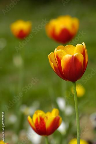 Obraz na plátně tulip