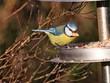 canvas print picture - Blaumeise mit Erdnuss