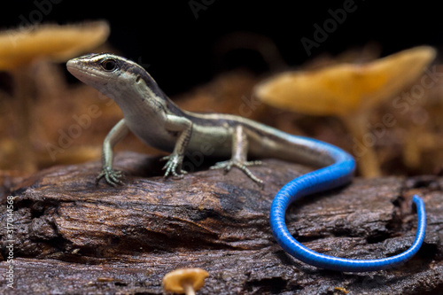Photographie Emoia caeruleocauda, (Blue tailed skink) commonly known as the Pacific bluetail skink, is a species of lizard in the family Scincidae