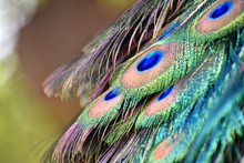 Portrait Of A Colorful And Vibrant Peacock Feathers