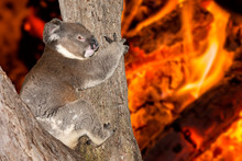 Yelling Crying Koala In Austra...