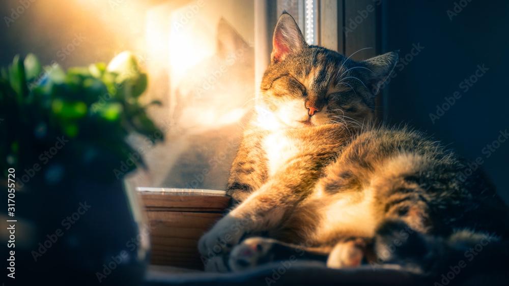 Fototapeta chubby cat dreaming of spring in winter time