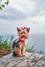 Yorkshire Terrier Dog Poses Ou...