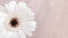 White Gerbera Natural Flower O...