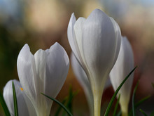 Closeup Of Tiny White Crocus Flowers With Green Leaves And A Defocused Background