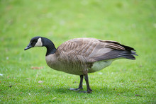 Canada Goose On Grass