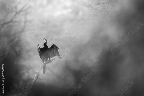 Oriental darter or Indian darter or snakebird bird portrait in black and white a Wallpaper Mural