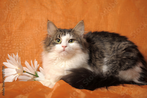 beautiful fluffy Norwegian forest cat and daisies on an orange background Canvas Print