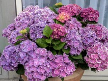 Multi-colored Hydrangea In A F...