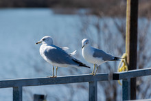 Pair Or Ring Billed Gulls Standing On Dock Rail