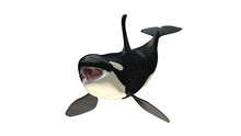 Isolated Killer Whale Orca Open Mouth Front Side View On White Background Cutout Ready 3d Rendering