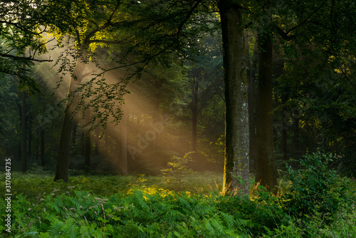 Rayon de soleil à travers les ramures des arbres en forêt de Crécy