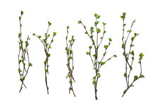 White Background Branches Small Leaves Spring / Isolated On White Young Branches With Buds And Leaves, Spring Frame