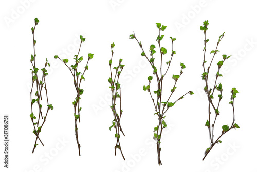 Valokuva white background branches small leaves spring / isolated on white young branches