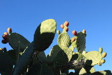 Cactus With Fruits Infront Of ...