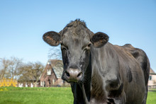 Beautiful Black Cow Standing In A Pasture, At The Background A Farm