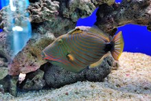 The Orange-lined Triggerfish (...