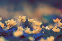 Buttercups Flowers Background / Abstract Background Seasonal, Spring, Summer, Nature Flower, Yellow Wild Flowers