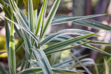 Close Up Of Thin Green And Yellow  Leaves Of Variegated Liriope Plant With Rain Dew Growing Outdoors