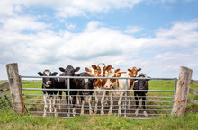 Group Of Young Cows Behind A Gate, Together Standing In A Pasture, Next To Each Other With At The Background A Blue Sky.