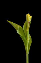 Elegant Single Isolated Yellow...