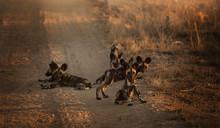Wild Dogs Südafrika