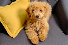 Cachorro De Mini Golden Doodle...