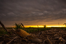 Dried Corn In Front Of A Sunset In A Field
