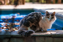 Tricolor Cat Beside A Pool In...