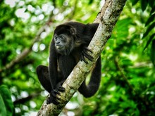 Howler Monkey Sitthing In A Tr...