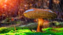 Imleria Badia In The Forest, A...