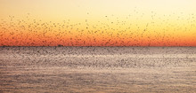 Starlings Murmurating At Sunse...