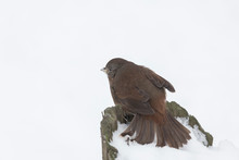 Fox Sparrow Bird