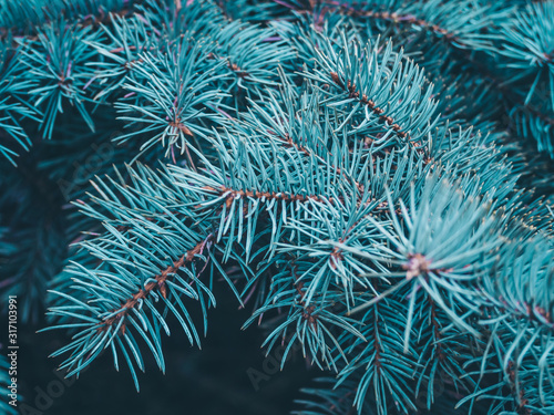 Spruce branch close-up Canvas-taulu