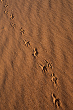 Animal Tracks In Sand, Coral P...