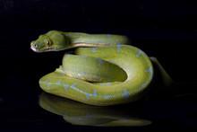 Green Tree Python (Morelia Vir...