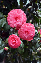 Japanese Camellia Beautiful Pink Flowers In The Garden
