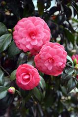 Fototapeta Kwiaty japanese camellia beautiful pink flowers in the garden