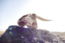 Dry Goat Skull Bone, Goat Skul...
