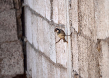 Passer Domesticus In A Wall