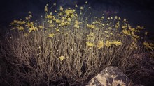 Scenery Of Dry Yellow Wildflowers Growing In The Middle Of The Canyon