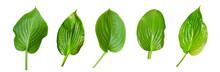 Set Of Hosta (plantain Lily) L...