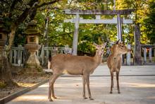 Cute Japanese Deer In Front Of...